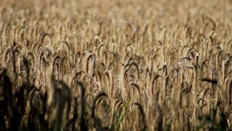 Cornfield-in-Wind
