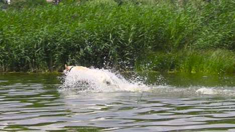 Dog-Runs-into-the-Water-in-Slow-Motion