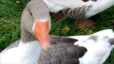 Goose-Close-Up