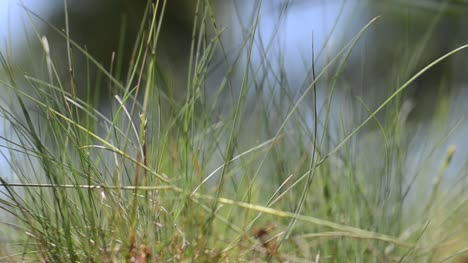 Tufts-of-Grass-Selective-Focus
