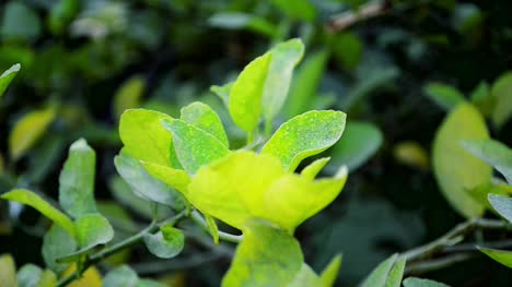 Lemon-Tree-Leaves