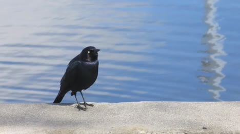 Black-Bird-Singing-By-Lake