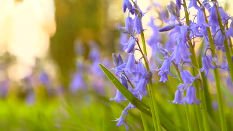 Bluebells-in-Spring-1