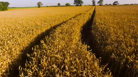 Drone-Flying-Over-Cornfield