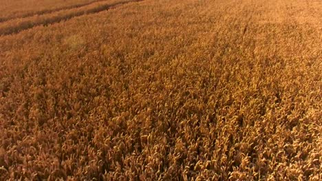 Drone-Flying-Across-Golden-Cornfields