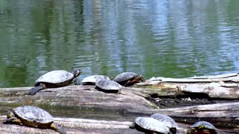 Turtles-next-to-Lake
