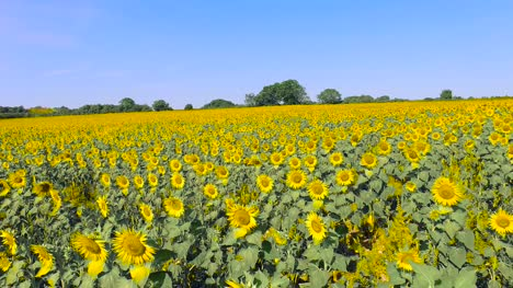 Flying-Over-Sunflower-Field-1