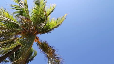 Palm-Tree-Blowing-in-Wind
