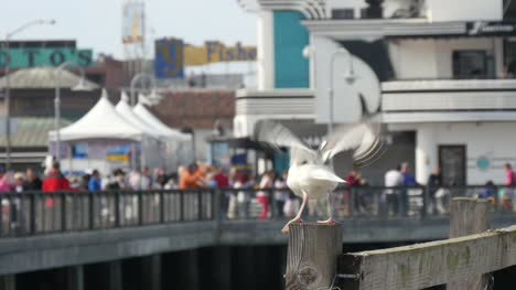 Sea-Gulls-Landing-on-San-Francisco-Pier