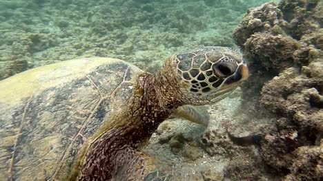 Green-Sea-Turtle-Eating