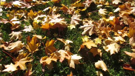 Maple-Leaves-on-Grass