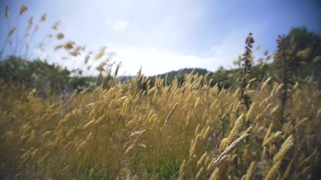 Dry-Grass-Blowing-in-Wind