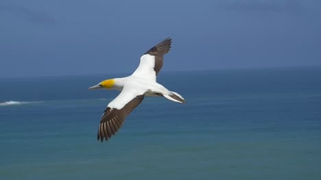Flying-Gannet-Bird