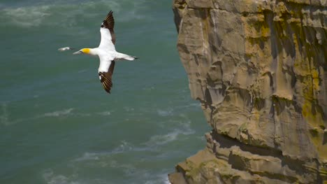 Gannet-Bird-in-Flight