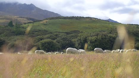 Pull-Focus-on-Sheep-Grazing