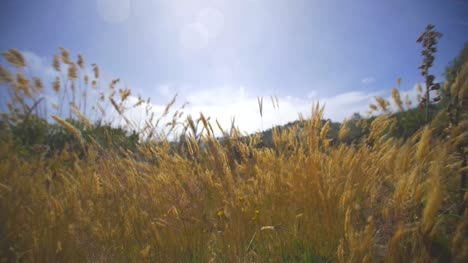 Golden-Grass-Blowing-in-Strong-Wind