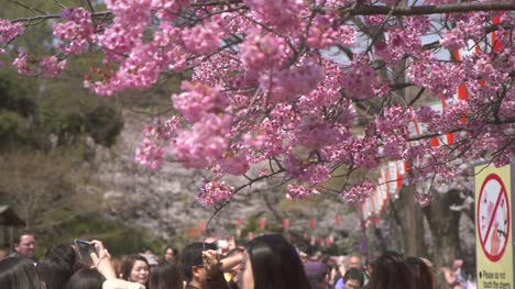 Tourists-Photographing-Pink-Sakura
