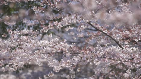 Cherry-Blossom-Blowing-in-Wind