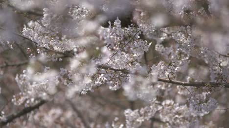White-Cherry-Blossom-Blowing-in-Wind