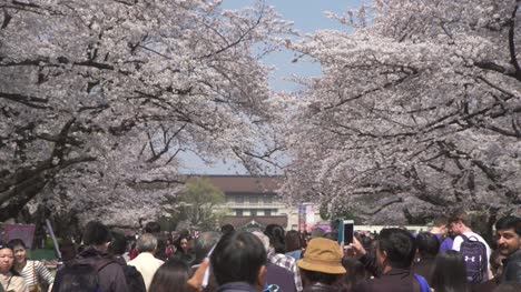 Crowd-Moving-Under-Cherry-Blossom-Trees