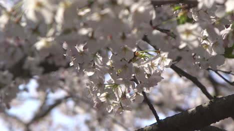Close-Up-of-White-Sakura-Flower