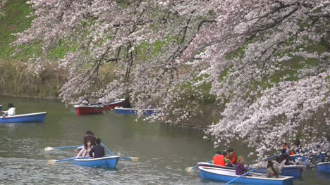 Tourists-On-Boats-Beneath-Sakura