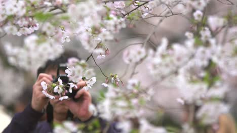 Tourist-Taking-Photos-of-White-Cherry-Blossom