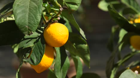 Fresh-Lemons-on-Tree