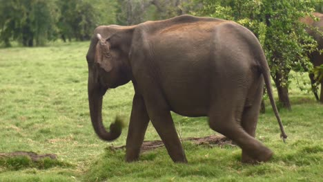 Elephant-Eating-Grass