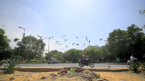 Flock-of-Pigeons-Startled-by-Indian-Intersection