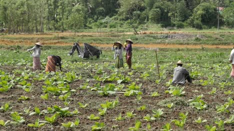 Indonesian-Workers-in-a-Tobacco-Field