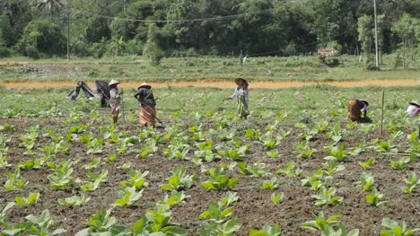 Indonesian-Women-Working-in-a-Tobacco-Field