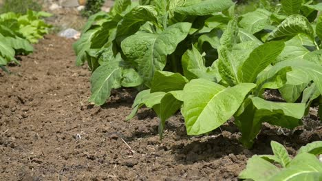Close-Up-of-Tobacco-Plants