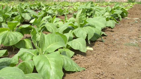 Close-up-Of-Tobacco-Plants-in-a-Field