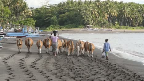 Indonesian-Women-Herding-Cows-on-a-Beach