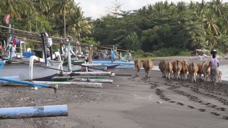 Woman-Herding-Cows-Past-Outriggers-on-a-Beach