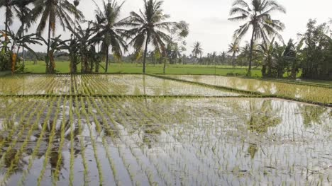 Flooded-Rice-Fields-in-Indonesia