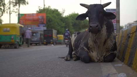 Black-Cow-Sitting-by-Indian-Roadside