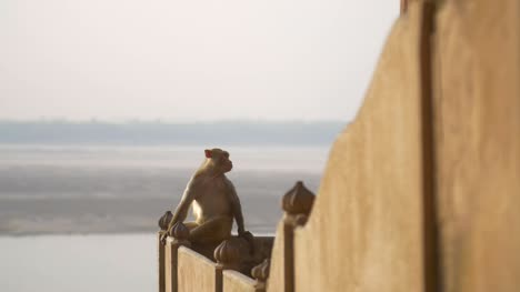 Reveal-Shot-of-a-Monkey-by-a-River-in-India