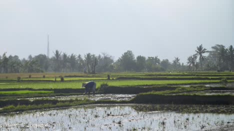 Farmer-in-an-Indonesian-Rice-Field
