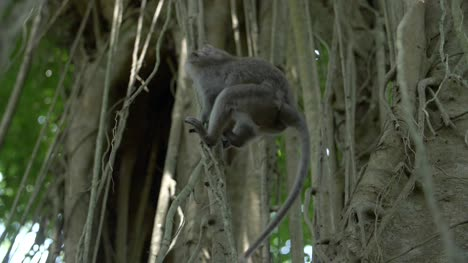 Monkey-Swinging-Between-Vines