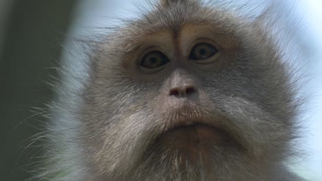 Close-up-of-a-Macaque-Monkey-Face