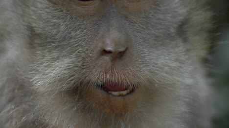 Close-Up-of-a-Monkey-Chewing