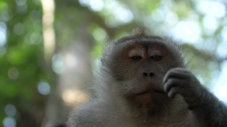 Macaque-Monkey-Looking-at-its-Hand