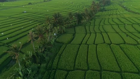 Birds-Eye-View-of-Indonesian-Rice-Paddies