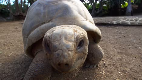 Giant-Aldabra-Tortoise-Walking