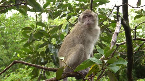 Crab-Eating-Macaque-Sitting-on-Branch