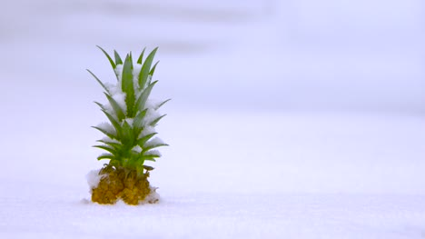 Pineapple-Buried-in-Snow