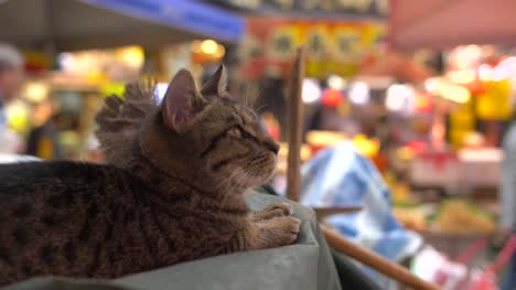 CU-of-Cat-laid-in-Busy-Market