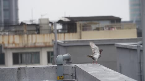 Pigeon-Taking-off-From-a-High-Ledge
